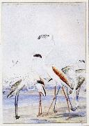 unknow artist flamingos vid v alfiskbukten i sydvastafrika en av baines manga illustrationer till anderssons stora fagelbok china oil painting reproduction